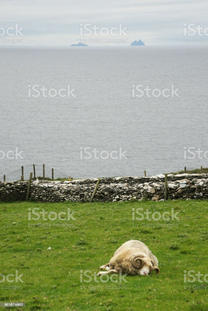 Dingle Peninsula Pastoral Scene with Ram and the Skelligs stock photo