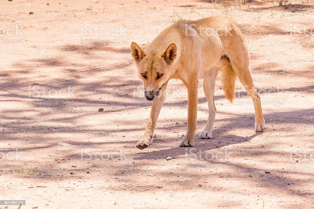 Dingo in the wild, Australia, close up foto stock royalty-free