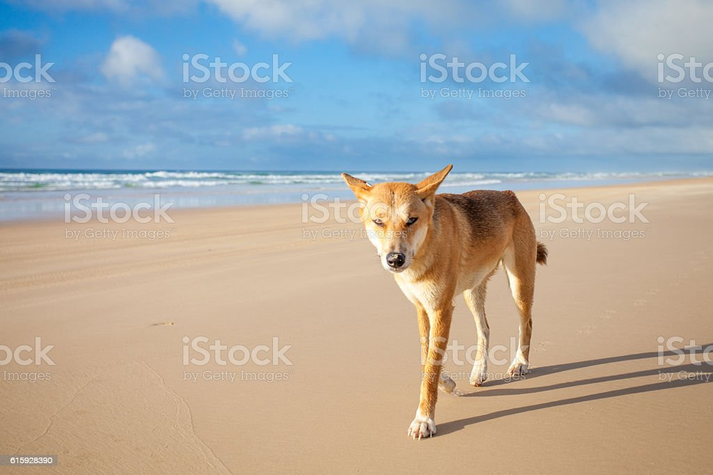 Dingo on 75 mile beach at Fraser Island stock photo