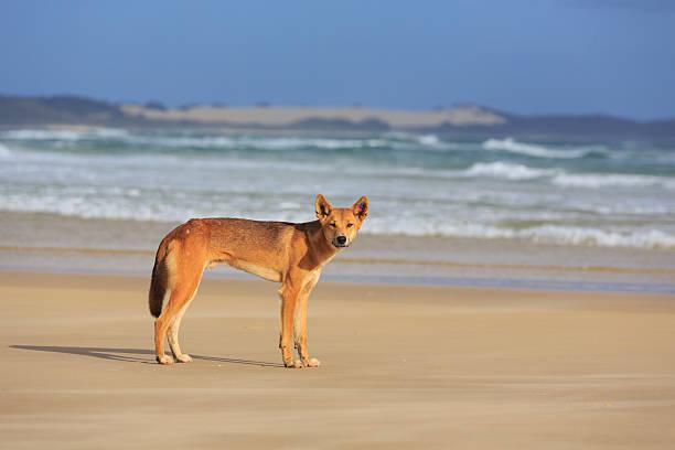 Dingo on Fraser Island Beach stock photo