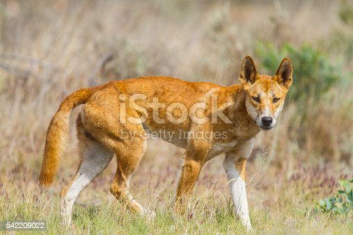 Dingo in Exmouth, Western Australia