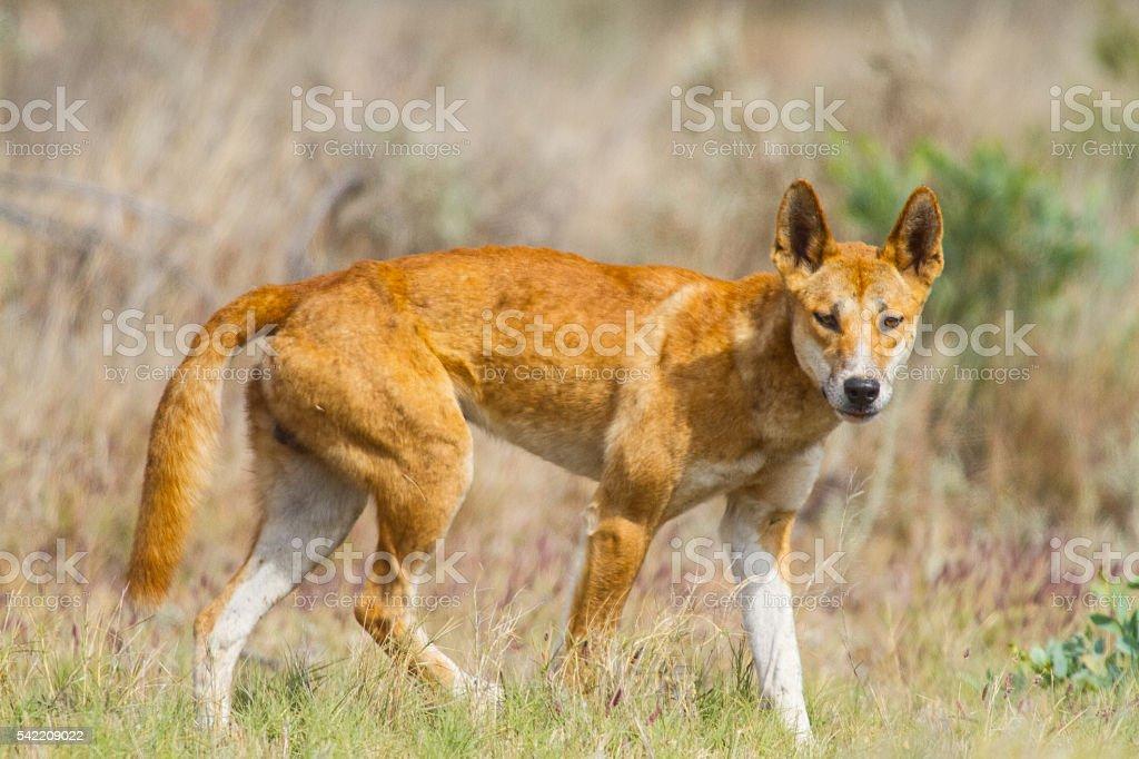Dingo stock photo