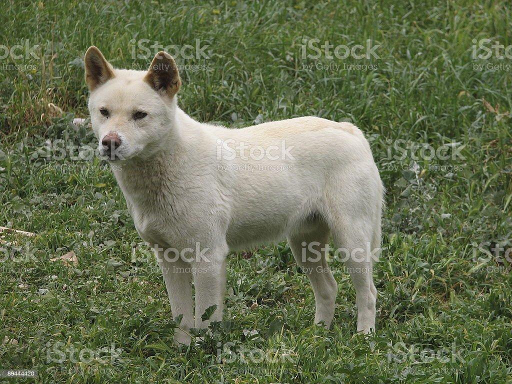 dingo royalty-free stock photo