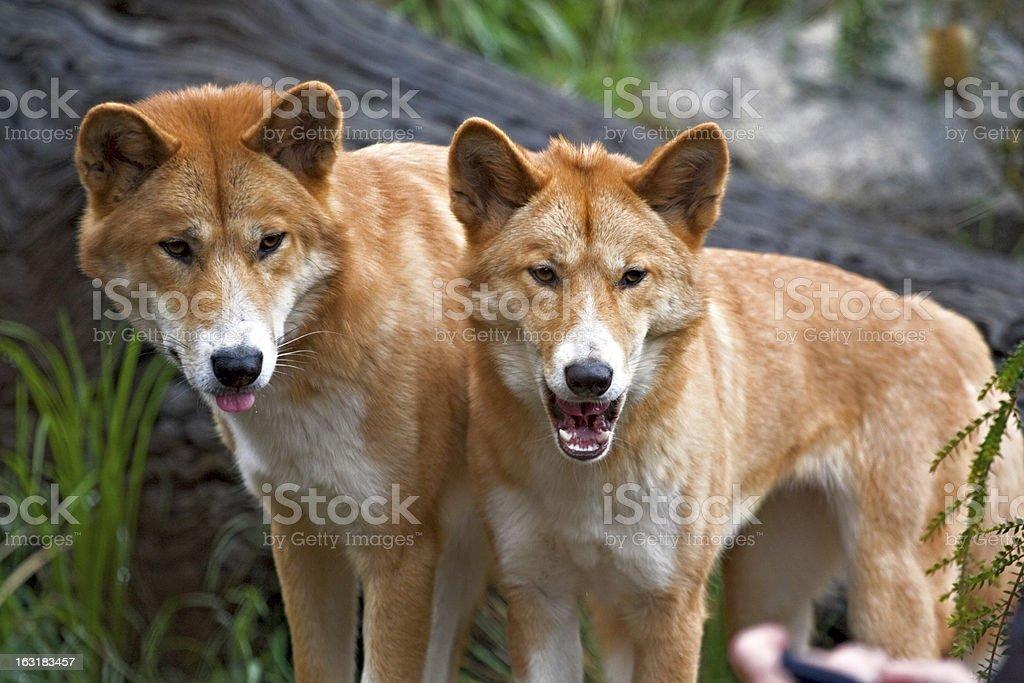 Dingos stock photo