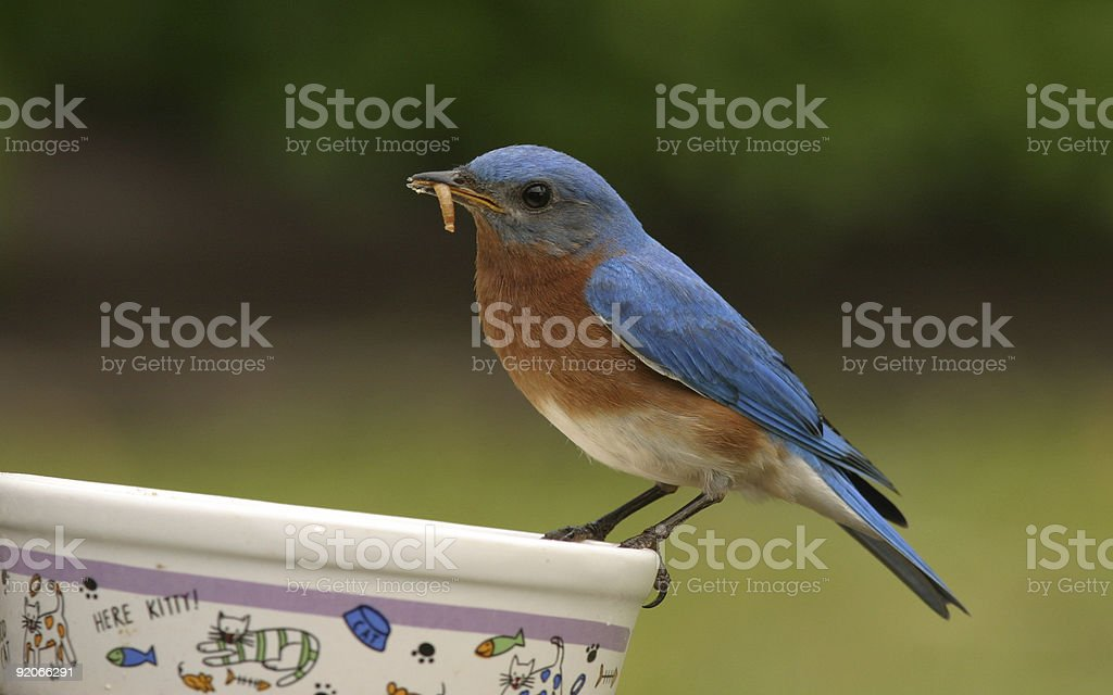Dining Bluebird  Beak Stock Photo