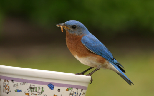Dining Bluebird Stock Photo - Download Image Now