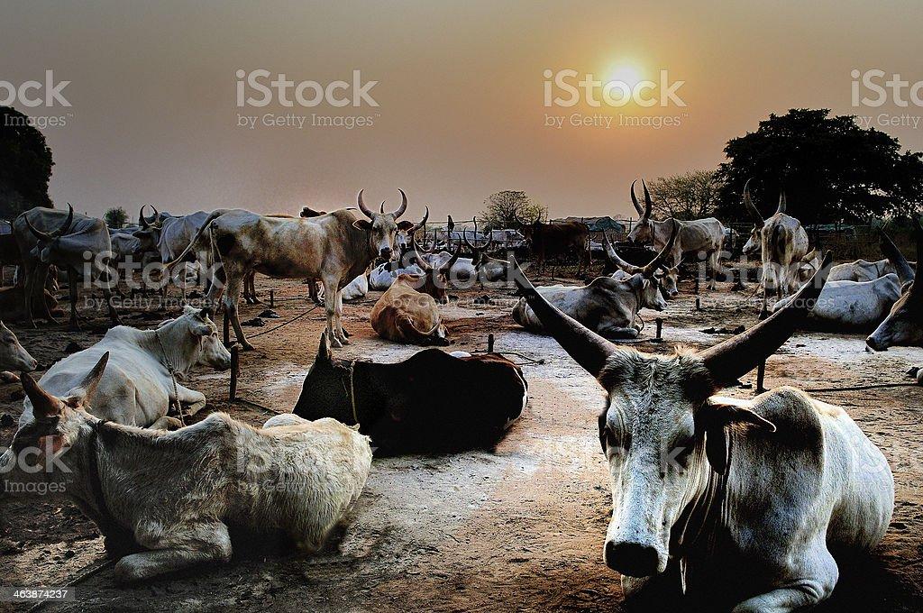 Dinka Cattle Dinka cattle herd near Wau in the South Sudan Africa Stock Photo