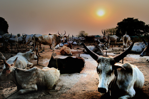 Dinka Cattle Stock Photo - Download Image Now