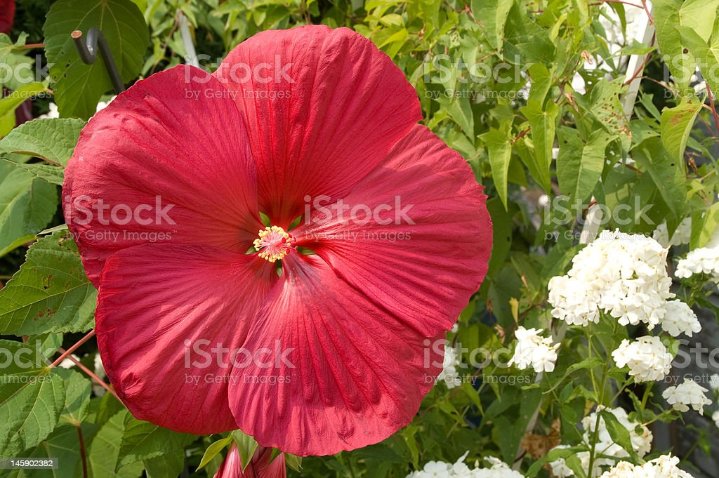Dinner Plate Hibiscus royalty-free stock photo & Dinner Plate Hibiscus Stock Photo \u0026 More Pictures of Beauty In ...