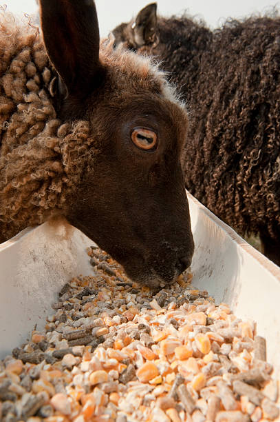 Dinner Time A sheep enjoys her dinner from the trough. feeding frenzy stock pictures, royalty-free photos & images