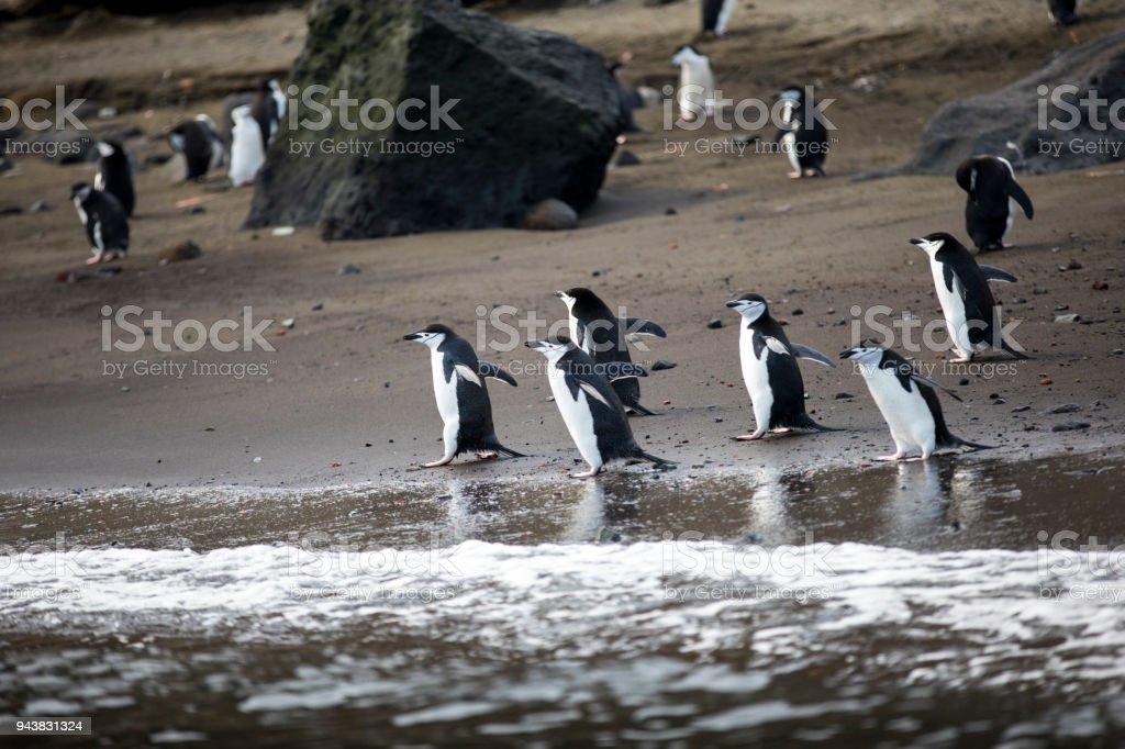 Dinnertime for Penguins stock photo
