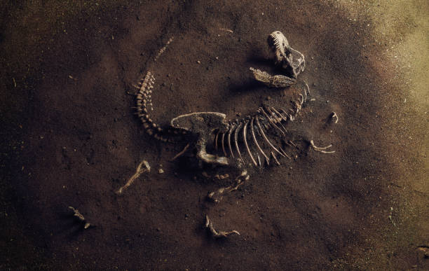 Dinosaur Fossil (Tyrannosaurus Rex) Found by Archaeologists Dinosaur Fossil (Tyrannosaurus Rex) Found by Archaeologists antediluvian stock pictures, royalty-free photos & images