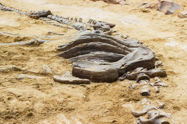 dinosaur fossil simulator excavation in sand - fossil stock photos and pictures