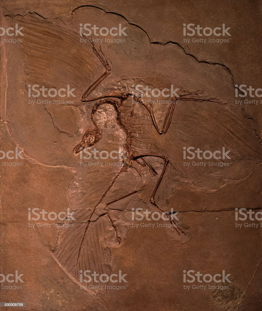 Dinosaur fossils of Archaeopteryx in rock stock photo