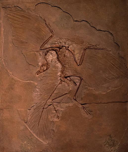 恐竜の化石始祖鳥のロック ストックフォト