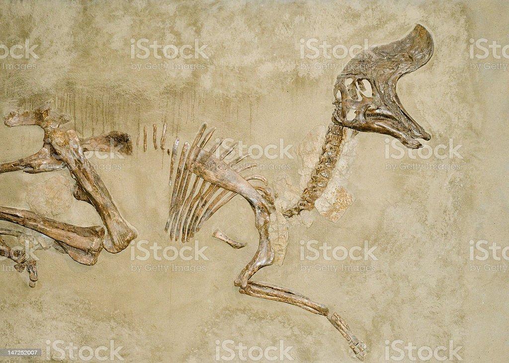 Dinosaur Fossils stock photo