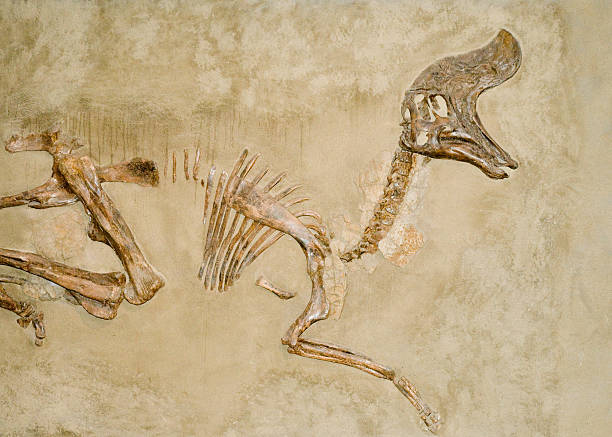 dinosaur fossils - fossil stock photos and pictures