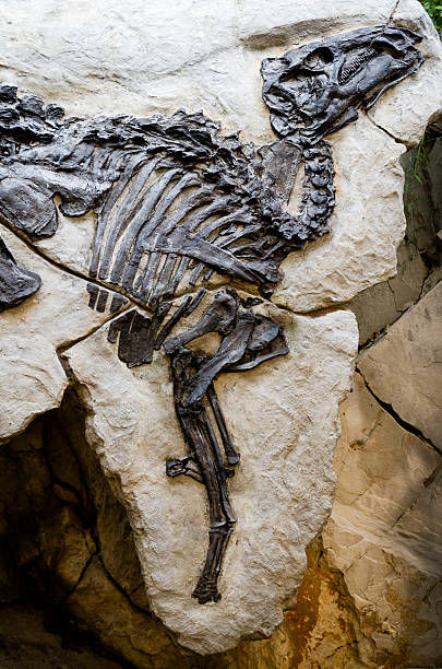 dinosaur skeleton - fossil close up - fossil stock photos and pictures