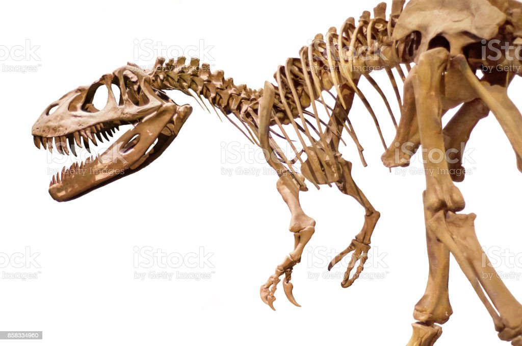 Dinosaur skeleton on white isolated background. stock photo