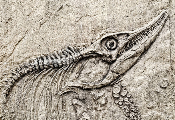 dinosaur skeleton. - fossil stock photos and pictures