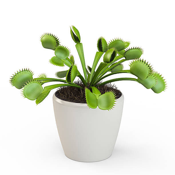 Dionaea muscipula isolated on white background. 3D Rendering, 3D Illustration. Dionaea muscipula isolated on white background. 3D Rendering, 3D Illustration. carnivorous stock pictures, royalty-free photos & images
