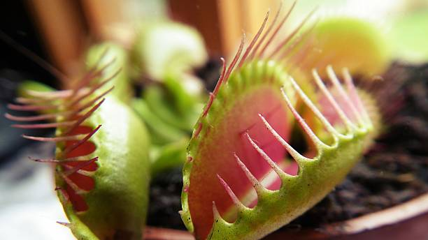 Dionaea muscipula , known as flytrap, in closeup Dionaea , known as flytrap, in closeup, isolated on nature background. carnivorous stock pictures, royalty-free photos & images
