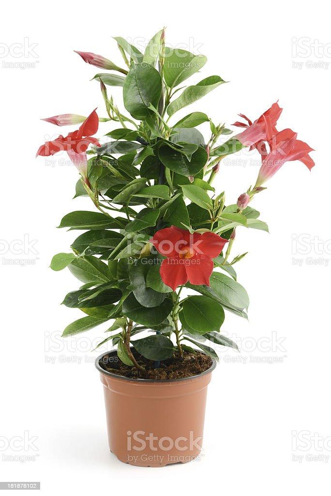 Dipladenia Sundaville in flowerpot royalty-free stock photo