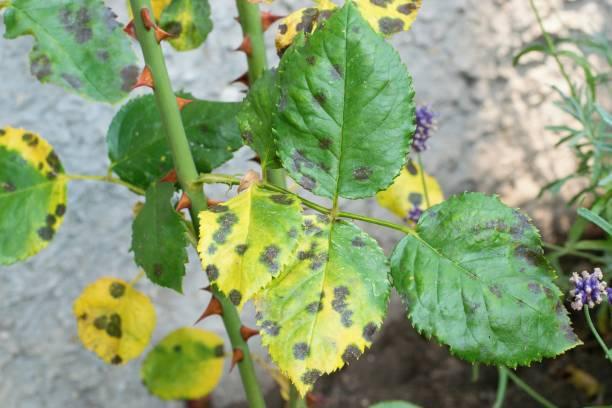Diplocarpon rosae, rose black spot disease stock photo