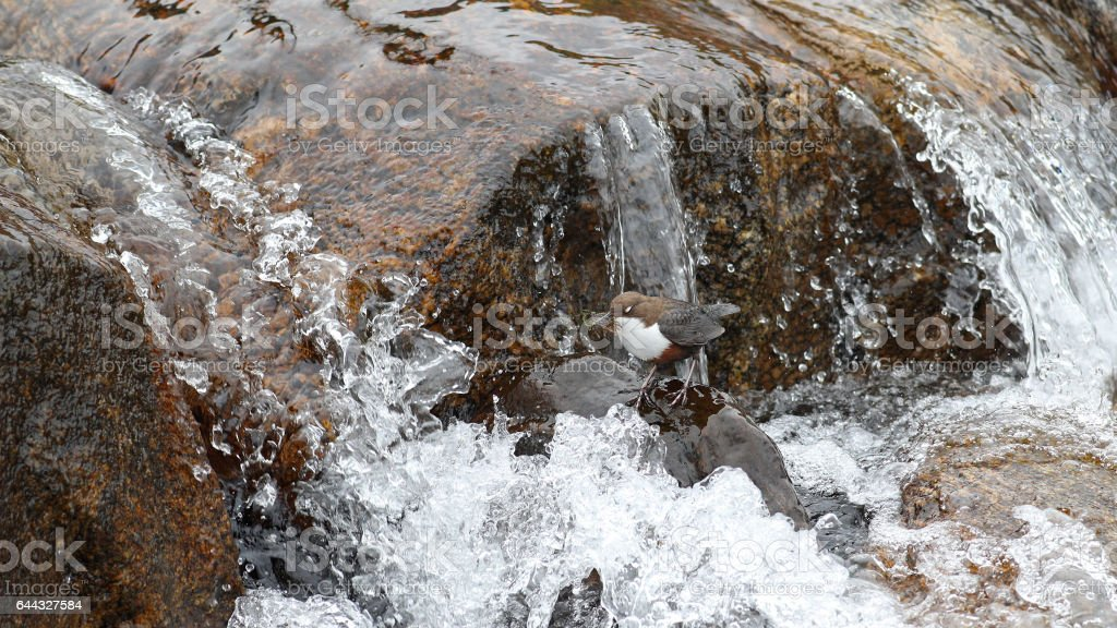 Dipper buiding its nest uder a waterfall stock photo