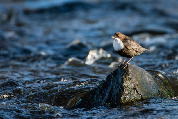 Dipper on the rock stock photo