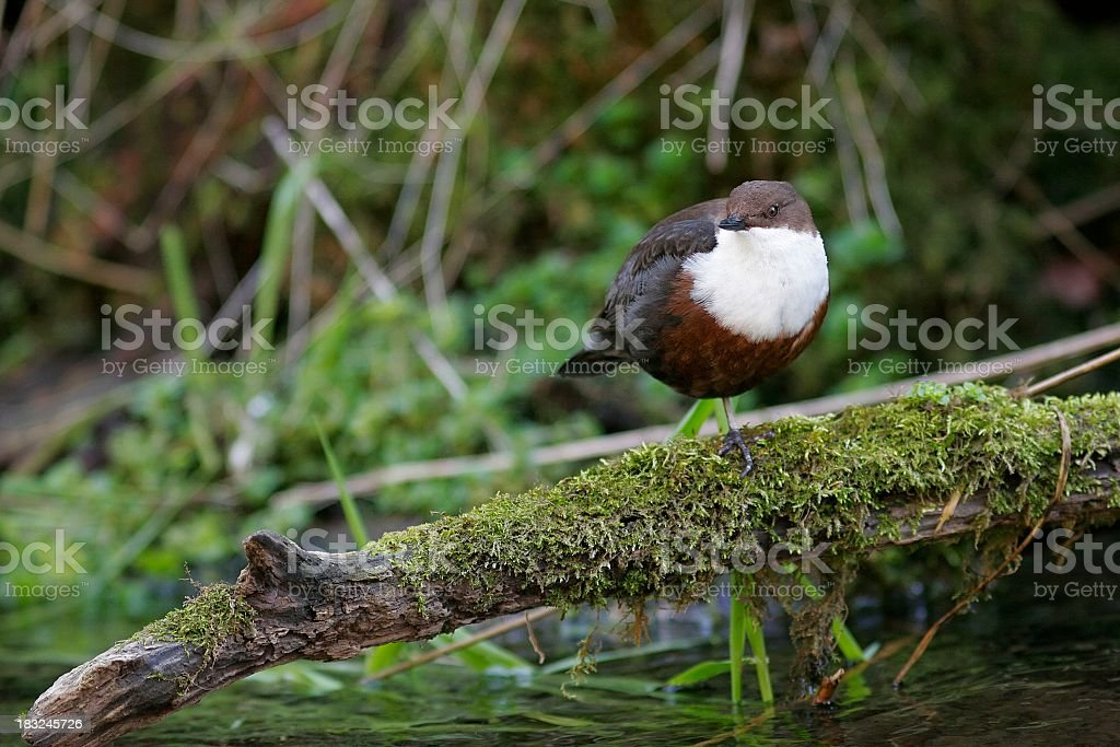 Dipper royalty-free stock photo