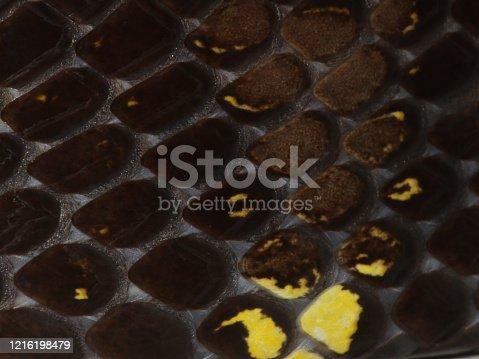 Dipsas indica  Culebras caracoleras neotropicale Neotropical Snail-eater