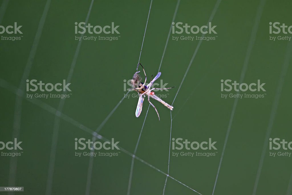 diptera chironomidae insects royalty-free stock photo