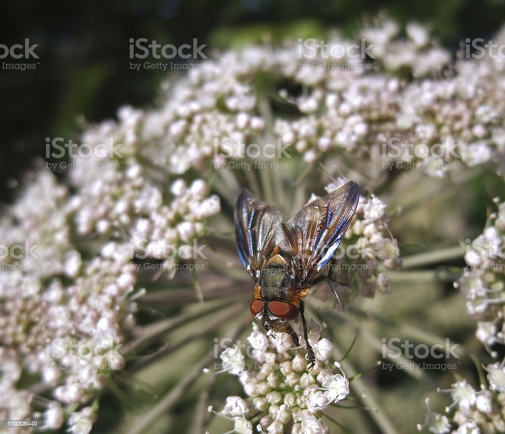 Diptera fly at summer time stock photo