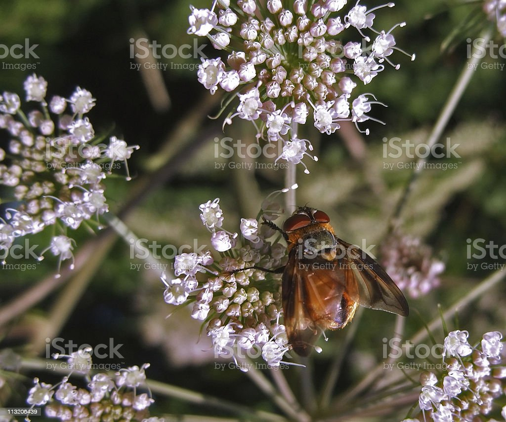 Diptera fly on wild carrot flower stock photo