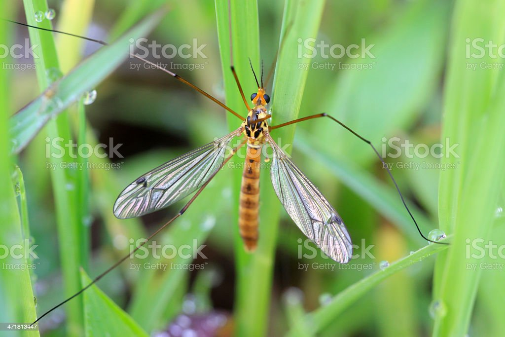 diptera large Culicidae insects in the grass royalty-free stock photo