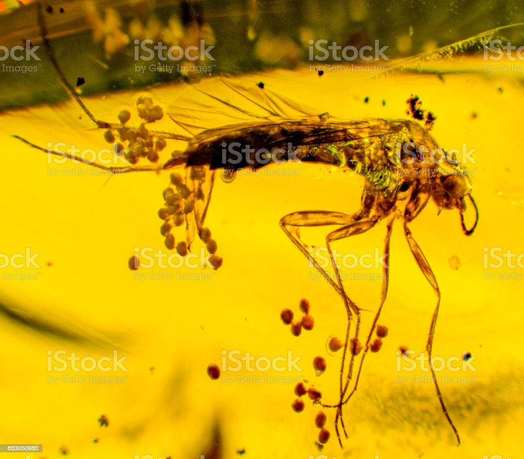 Diptera Laying Eggs Dominican Amber Fossil - foto stock