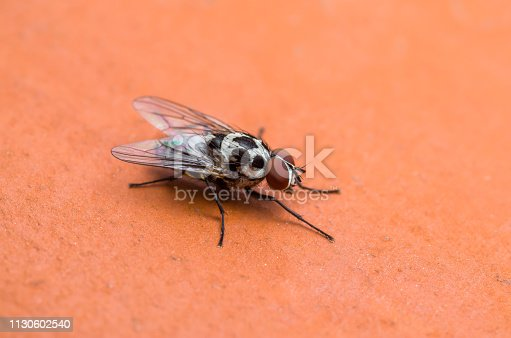 Diptera Meat Fly Insect On Red Background Macro