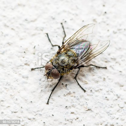 Diptera Meat Fly Insect On Wall Macro