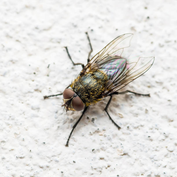 Diptera Meat Fly Insect On Wall stock photo
