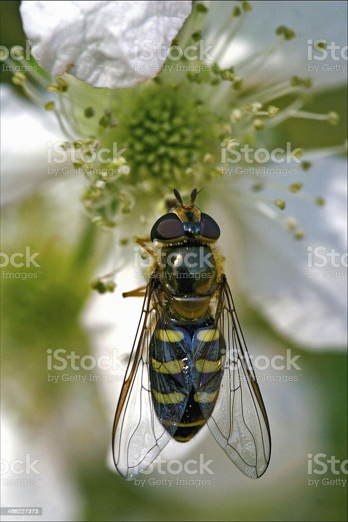 diptera syrphidae volucella stock photo