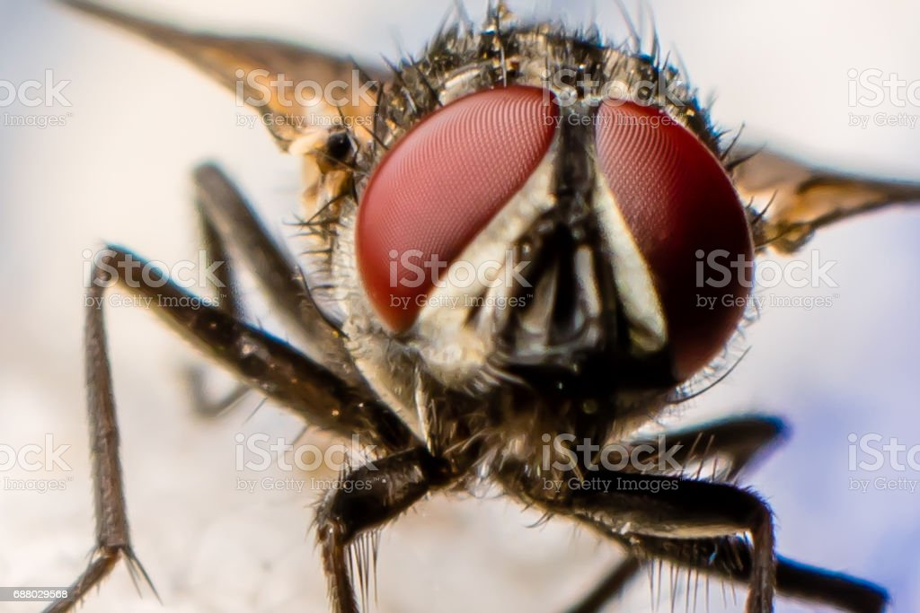 Dipterous Facet stock photo