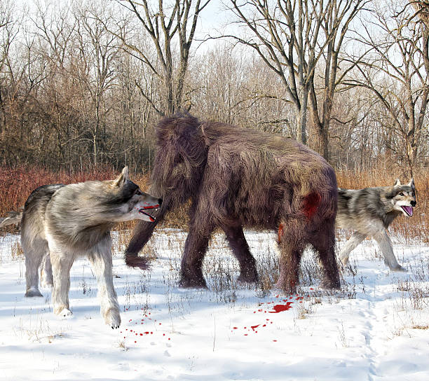 Dire Wolves Hunting Juvenile Woolly Mammoth stock photo