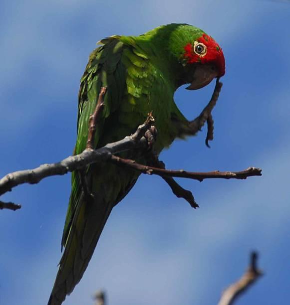 direct gaze of curious Telegraph Hill Parrot (Aratinga erythrogenys) stock photo