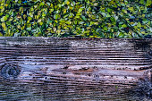 From a wood footpath, a close-up look at a thick carpet of leaves pads floating on the lake water. Focus on foreground at the wooden plank and foliage on background. Copy space for text.