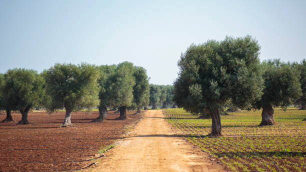 Dirt road among olive trees stock photo