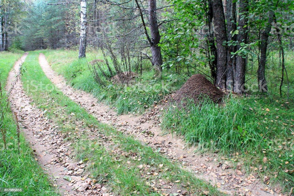 Dirt road and anthills in the forest stock photo