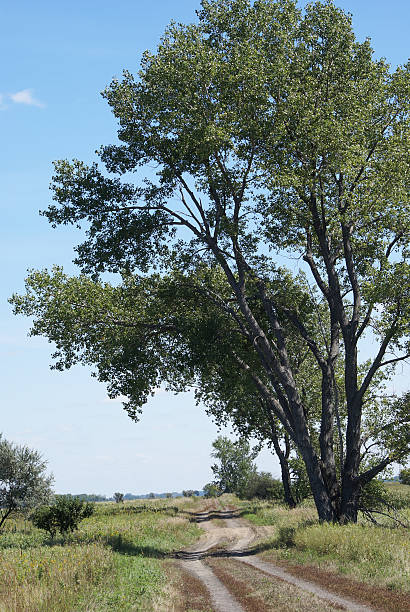 dirt road and cottonwood tree dirt road and cottonwood tree.  Location: North Dakota, USA cottonwood tree stock pictures, royalty-free photos & images