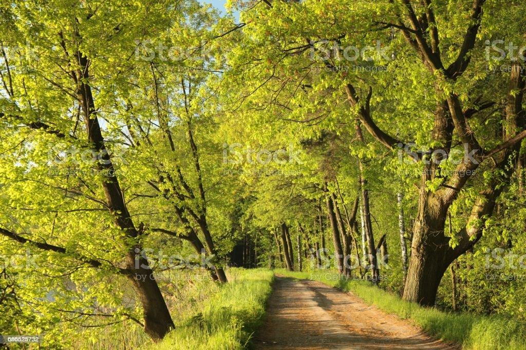 Dirt road between the spring trees zbiór zdjęć royalty-free