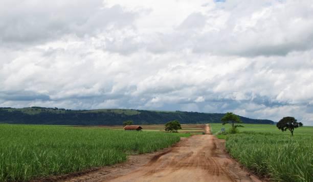 Dirt road crossing a sugarcane field